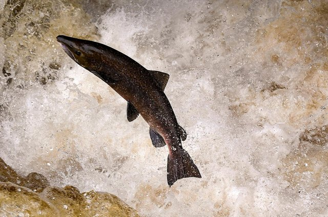 Fisheries Management Scotland is seeking a simple pledge from the Scottish election candidates to commit to helping to save our wild salmon. (Photo by Jeff J Mitchell/Getty Images)