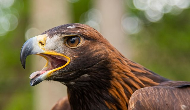 Before the project began, there was only between two and four pairs of golden eagles across Dumfries and Galloway and the Scottish Borders, however a supporting study by NatureScot shows that the local habitat is suitable for up to 16 pairs. Pic: Phil Wilkinson