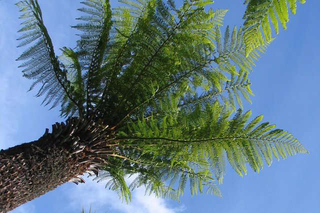 The tree fern Dicksonia antartica at Logan's is an example of plants not normally seen this far north