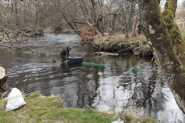 Salmon smolts being trapped in the River Dee